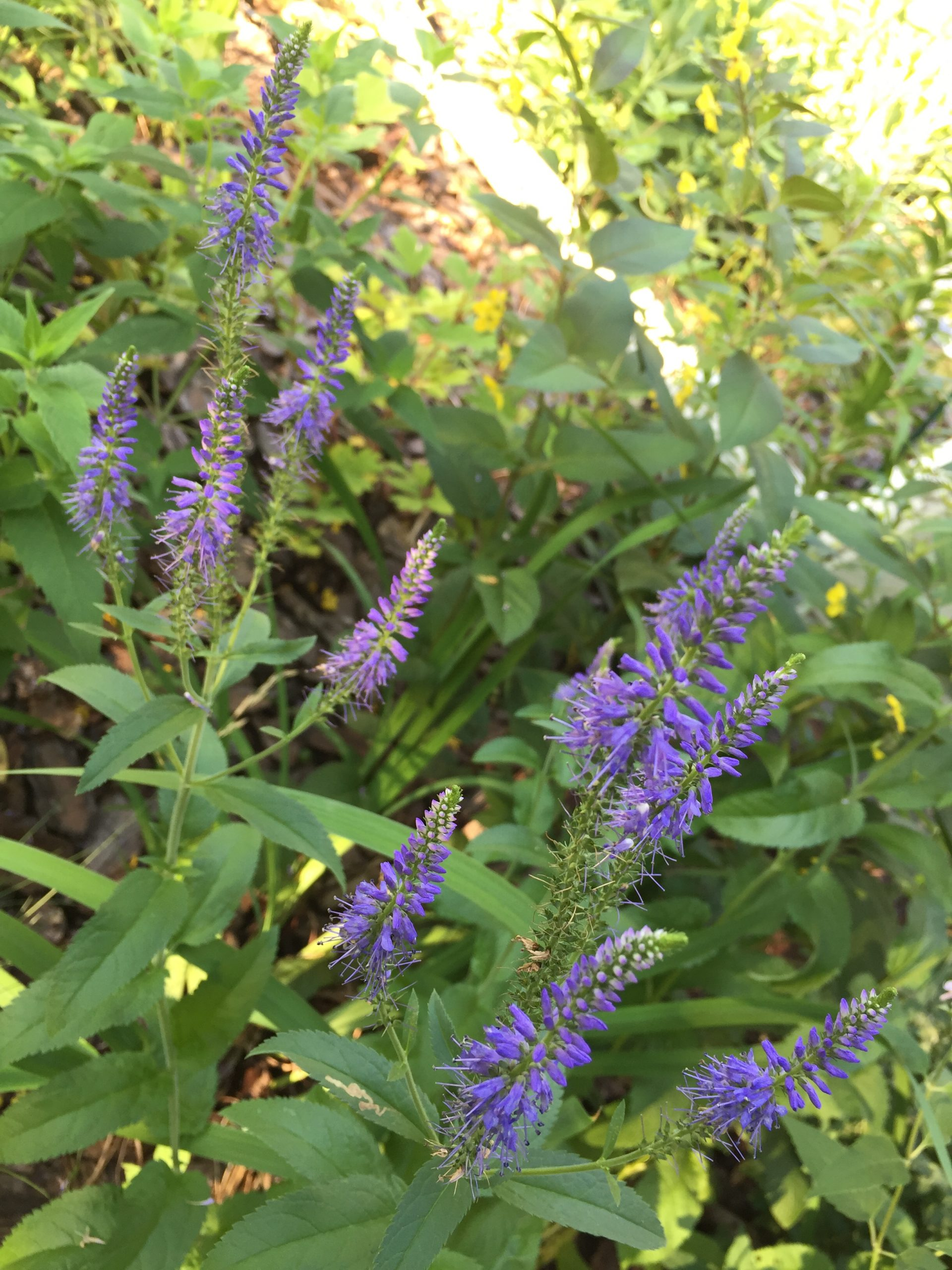 Three images of pollinator-friendly native plants
